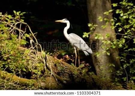 Grey Heron on a fallen tree #1103304371