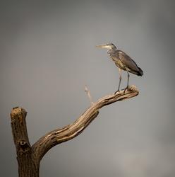 Grey Heron on isolated dying branch. (Ardeidae)