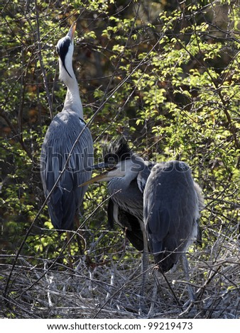 Grey heron on Nest in Kruger National park #99219473