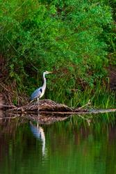Grey Heron or Ardea cinerea on river in wild nature.