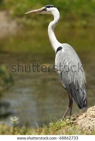 grey heron standing and waiting for food to swim past