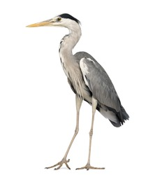 Grey Heron standing, Ardea Cinerea, 5 years old, isolated on white