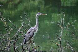 Grey heron standing on the tree by the lake Maksimir, Zagreb, Croatia / Aquatic bird standing on the tree / Heron at the lake