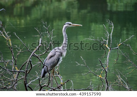 Grey heron standing on the tree by the lake Maksimir, Zagreb, Croatia / Aquatic bird standing on the tree / Heron at the lake