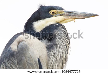 Grey heron with an injured beak in Park South Africa