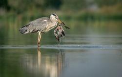 grey heron with bird kill