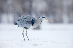 Grey Heron with snow blizzard. Wildlife scene from Poland nature. Snow storm with bird. Cold winter in Europe.
