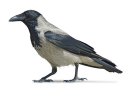 Grey hooded crow walks isolated on white background