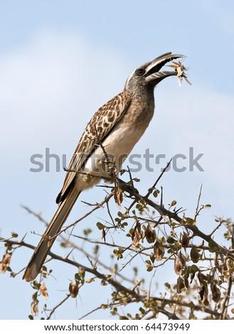 Grey hornbill eating grasshopper in the sunshine
