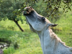 grey horse eating an apple from the tree