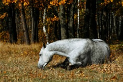 Grey horse lying down in field. Stallion get fun on grass in autumn