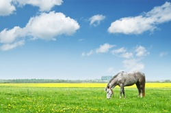 grey horse on flower meadow