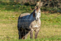 Grey Horse Peering Over A Fence In A Field - Huntington Beach, California