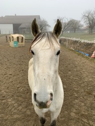 Grey horse saying hello to the camera