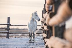 Grey horse standing in the paddock. Beautiful arabian stallion.