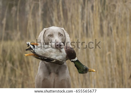 grey hunting dog with duck #655565677