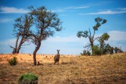 Grey Kangaroos in Mungo National Park, Australia