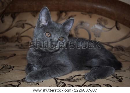 Grey kitten cat portrait. Cute little cat portrait. Cat posing. Gray kitten portrait #1226037607