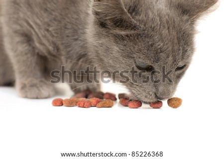Grey kitten eating dry cat food