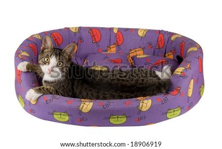 Grey kitten in his bed