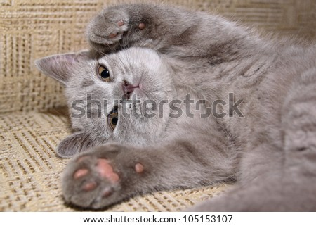 Grey kitten on the bed
