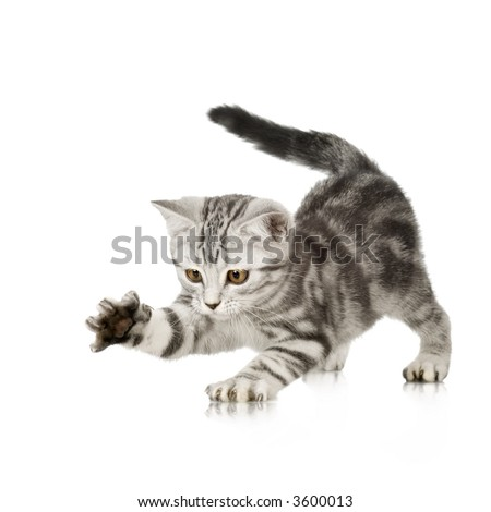 Grey kitten playing and grabbing at in front of a white background