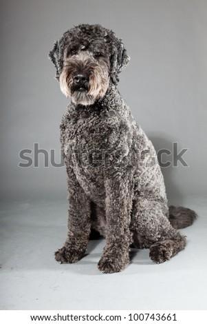 Grey labradoodle dog isolated on grey background. Anti allergy. Studio portrait.