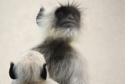 Grey Langur with baby