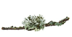 Grey  lichen on twig isolated on white background