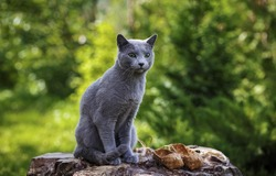 Grey little cat breed Russian Blue sitting on the rocks