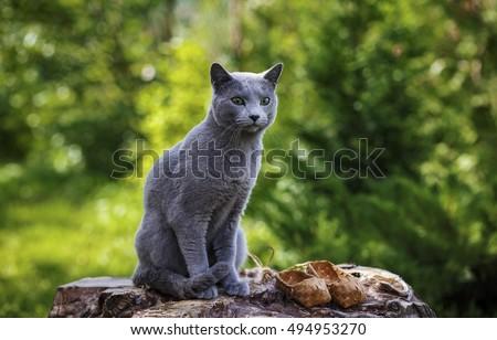 Grey little cat breed Russian Blue sitting on the rocks #494953270