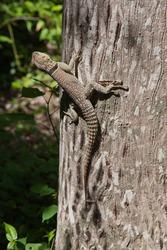 Grey lizard on a baobab tree trunk in a Park in Madagascar.
