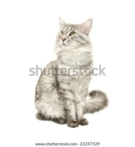 grey maine coon cat against white background