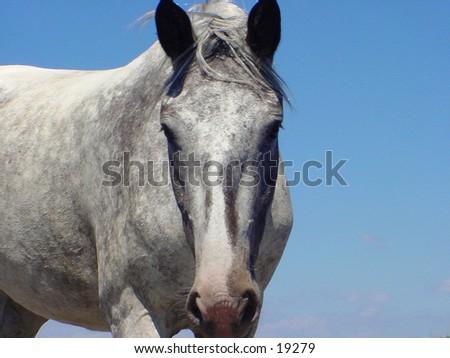 Grey Mare against a blue sky. There is no halter or other tack in the picture - stock photo
