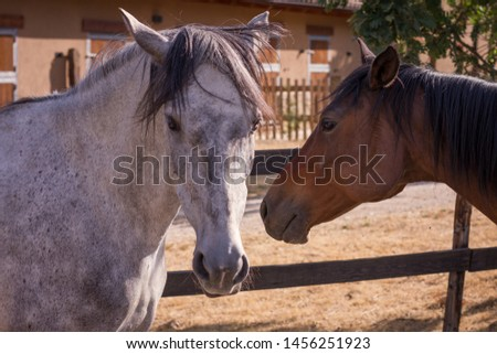 Grey mare and chestnut Purebred-arabian. #1456251923