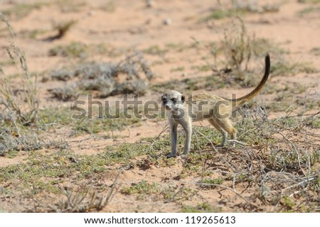 Grey Meerkat (Suricata suricatta) juvenile in the Kalahari desert,Northern Cape, South Africa
