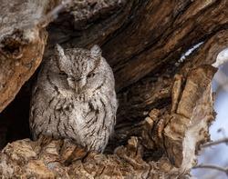 Grey morph Eastern screech owl roosting in tree cavity
