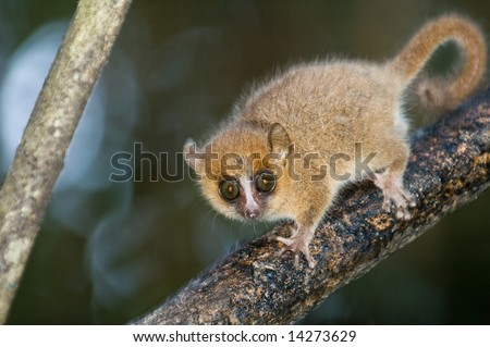 Grey Mouse Lemur (microcebus murinus). Endemic to Madagascar.  Ranomafana National Park, Ranomafana, Madagascar