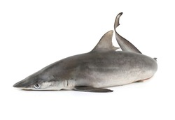 Grey Nurse Shark isolated on white background with clipping path.