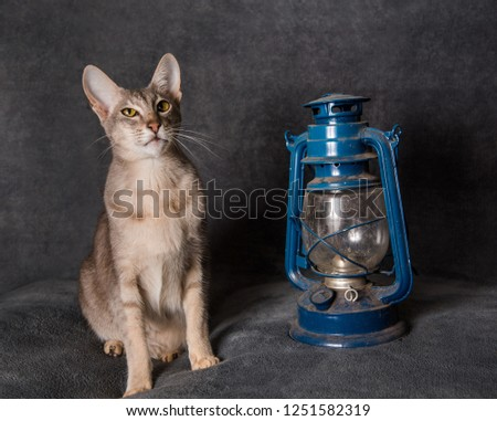 Grey Oriental cat. The Oriental Shorthair and lantern, Christmas card or background for New Year #1251582319