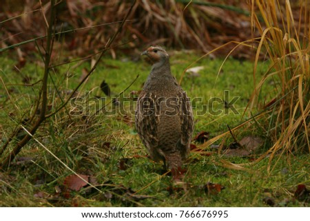 Grey partridge on a close up horizontal picture. A common European bird often occuring on fields.