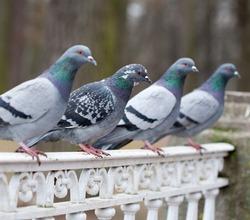 grey pigeon bird closeup on outdoor background