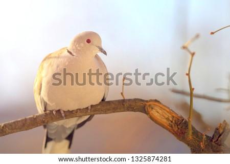 grey pigeon bird sitting alone on a no leaf tree branch #1325874281