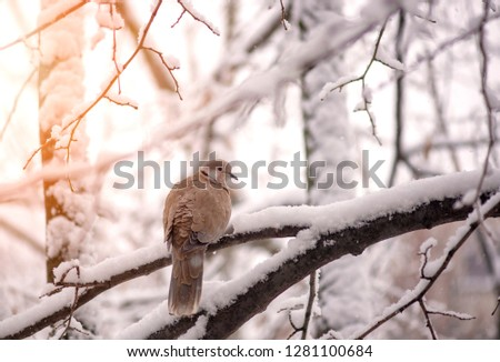 grey pigeon bird sitting alone on a no leaf tree branch, cold, winter time #1281100684
