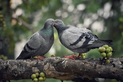 grey pigeons kissing very cute in a beautiful and peaceful background kiss of birds are very rare to find