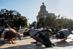 Grey pigeons on Catalonia Square (Placa de Catalunya) lit by sunlight. Low wide angle view. Extremely close up backlit scene with city doves. Barcelona, Spain
