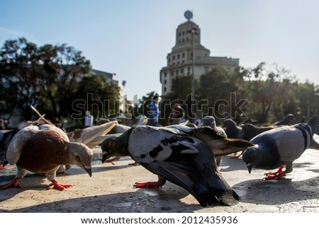 Grey pigeons on Catalonia Square (Placa de Catalunya) lit by sunlight. Low wide angle view. Extremely close up backlit scene with city doves. Barcelona, Spain Foto stock ©