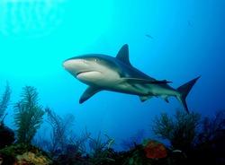 Grey reef shark,  Cuba