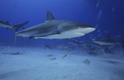 GREY REEF SHARK SWIMMING IN THE CLEAR OCEAN WATER