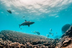 Grey Reef Shark swimming peacefully over beautiful coral reef in clear blue water